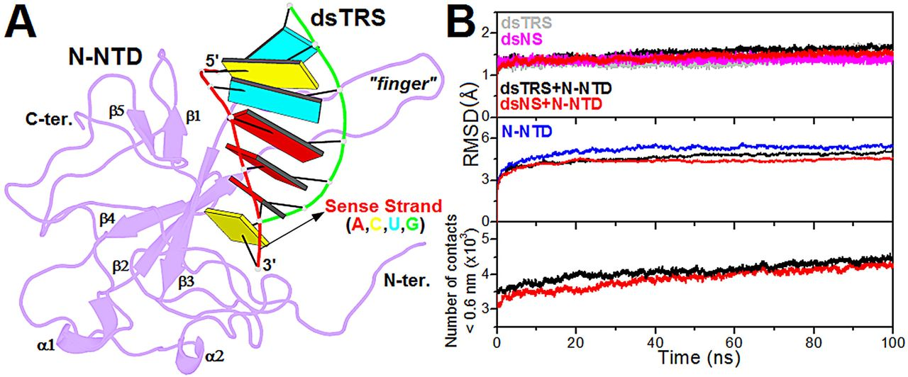 Structural model of the N-NTD:dsRNA complex and its validation from MD simulations