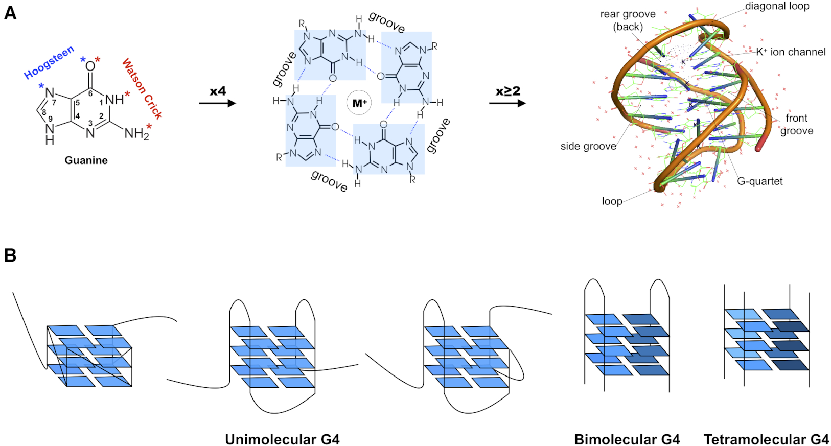 Figure 1. From guanines to G-quadruplexes